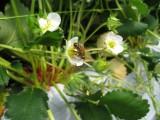 ミツバチくん大忙しです